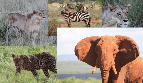 Safari-Tsavo-Ost-NP-ajoure-travel