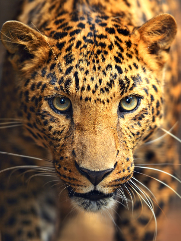 Leopard-Afrika-Face-ajoure-travel