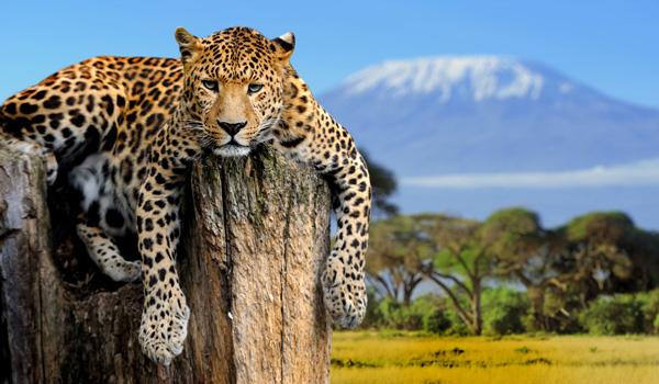 Leopard-Afrika-Jagd-ajoure-travel