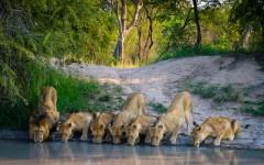 Loewen-Afrika-Wasserloch-ajoure-travel