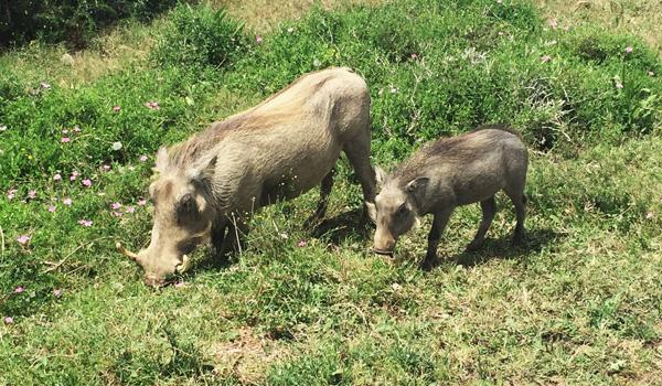 Warzenschweine-AE-Park-ajoure-travel