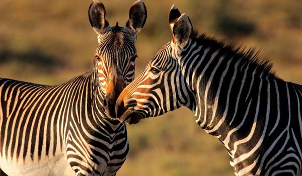 Zebras-SA-ajoure-travel