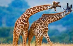 Kenia-Giraffen-ajoure-travel