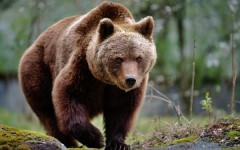 Grizzly-Baer-USA-ajoure-travel