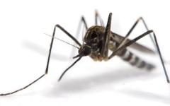 Mosquito-ajoure-travel