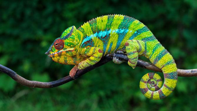 Chamäleon Madagaskar