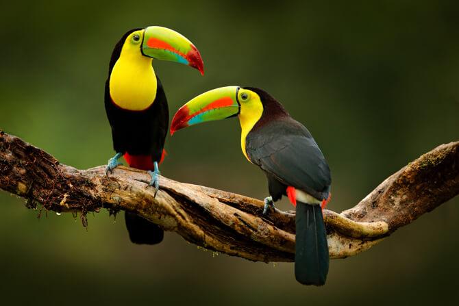 Costa Rica Vögel