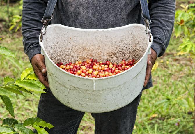 Kaffee in Kona