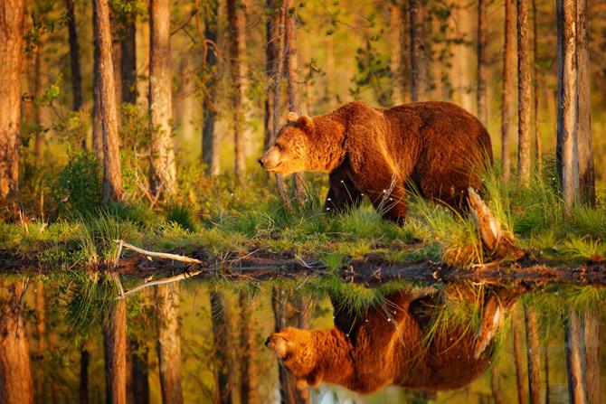 Schwedens Wildlife Bär