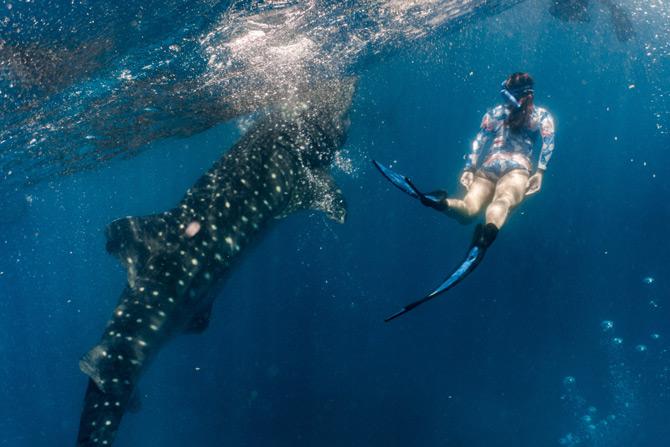 Tauchen mit Walhaien auf den Philippinen