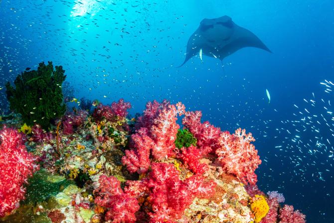 Komodo Manta Unterwasser