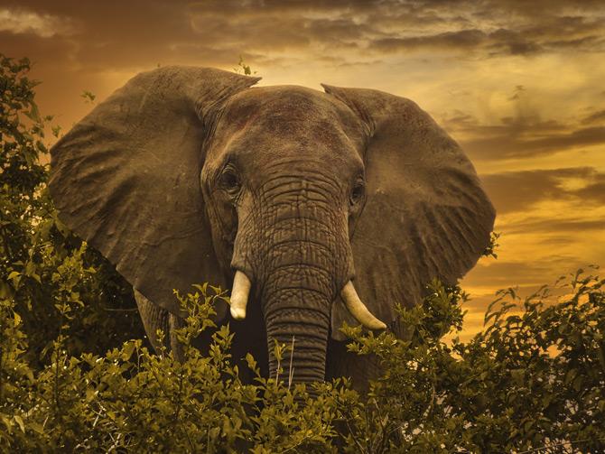 Elefant im Tsavo NP