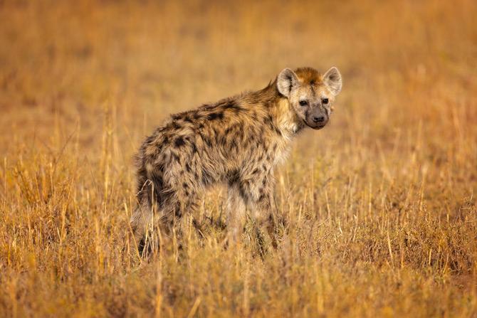 Hyäne in der Masai Mara