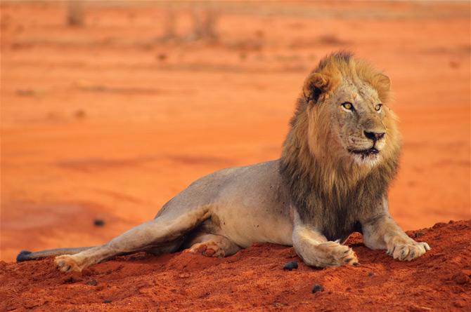 Löwe im Tsavo NP