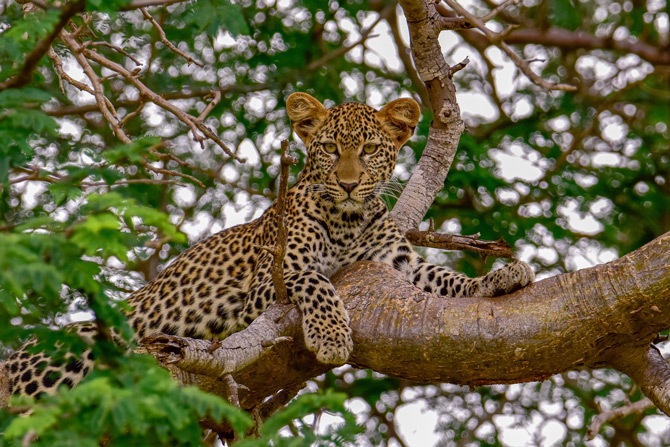 Leopard auf einem Baum im Tsavo NP