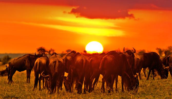 Gnuherde in der Masai Mara